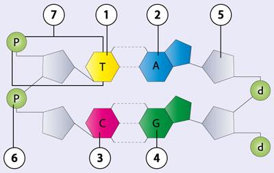 biologie dvd 17 molekulare genetik weitergabe des erbgutsdie bausteine der dna. Black Bedroom Furniture Sets. Home Design Ideas