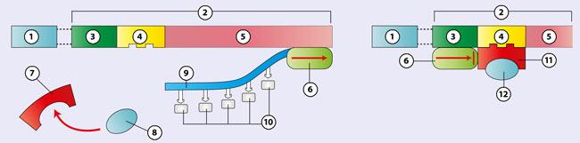 biologie dvd 18 molekulare genetik proteinbiosyntheseregulation der genaktivit t. Black Bedroom Furniture Sets. Home Design Ideas