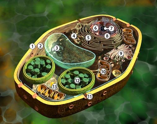 Arbeitsblatt Pflanzliche Tierische Zelle : Bio dvd zelle ii pflanzliche