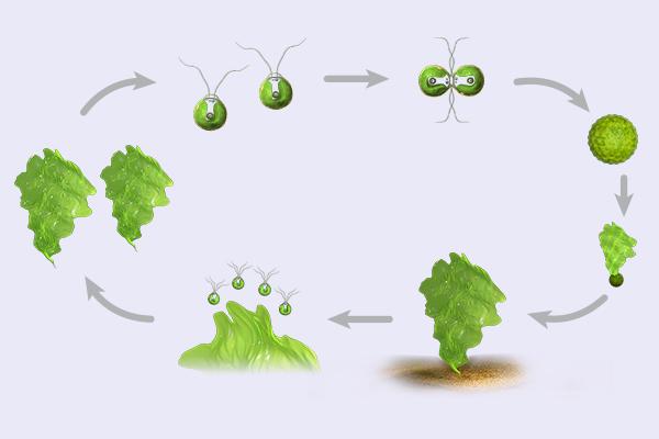 bio dvd049 algen moose farne aufbau und fortpflanzung vermehrung der meersalat alge. Black Bedroom Furniture Sets. Home Design Ideas