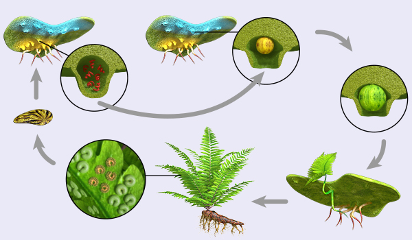 bio dvd049 algen moose farne fortpflanzung vermehrung der farne 2. Black Bedroom Furniture Sets. Home Design Ideas